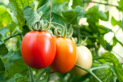 Tomatoes grow on twigs. Red and green tomatoes grow on twigs. Ripening organic tomatoes on a vegetable bed into the garden. Bio product royalty free stock photography