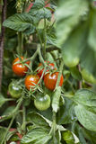 Tomatoes Growing. Bunch of red and green tomatoes growing in garden Stock Image