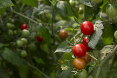 Tomatoes growing Stock Photography