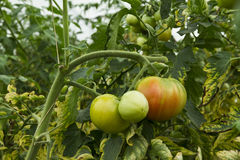 Tomatoes growing Royalty Free Stock Image
