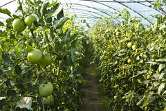 Tomatoes growing Stock Photo