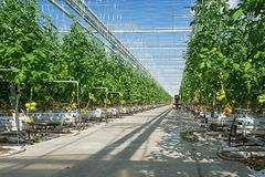 Tomatoes growing in a big greenhouse in the Netherlands. Berkel en Rodenrijs, Netherlands – April 2, 2017: tomatoes growing in a big greenhouse in the Stock Photography