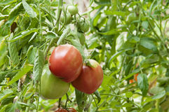 Tomatoes growing on the branch Royalty Free Stock Image
