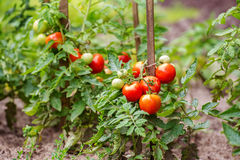 Tomatoes growing on the branches Royalty Free Stock Photo