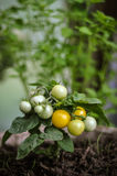 Tomatoes growing - close-up Royalty Free Stock Photography