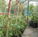 Tomatoes growing Royalty Free Stock Images