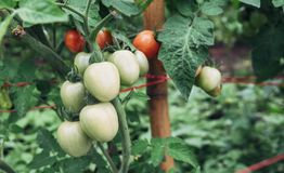 Tomatoes are growing in the garden. Stock Photo