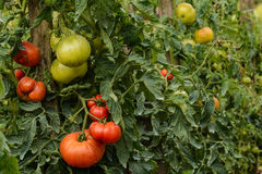 Tomatoes growing in a garden Stock Image