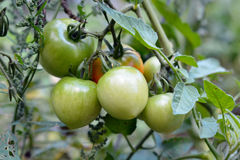 Tomatoes Growing in A Garden Waiting to Get Ripe Royalty Free Stock Photo