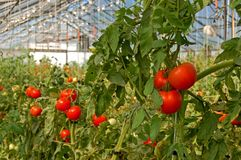 Tomatoes growing in a greenhouse Royalty Free Stock Photos
