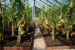 Tomatoes growing in greenhouse Royalty Free Stock Photo