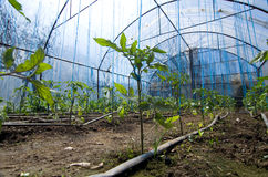 Tomatoes growing in greenhouse Stock Images