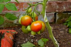 Tomatoes growing on plant Royalty Free Stock Photos