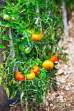 Tomatoes growing Royalty Free Stock Photography