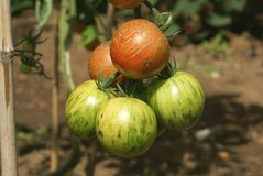 Tomatoes growing in a vegetable garden Stock Photography