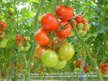 Tomatoes. royalty free stock photos