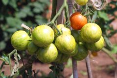 Tomatoes growing on vines Royalty Free Stock Photography