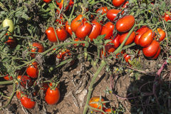Tomatoes grown in the field Stock Images