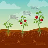 Tomatoes growth and planting stages flat vector diagram Stock Photo