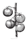 Tomatoes hand drawing engraving illustration. Clip art isolated on white background Royalty Free Stock Photos