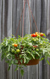 Tomatoes in a hanging basket Stock Image