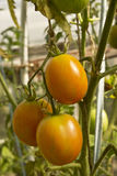 Tomatoes. Are hanging on a branch growing in the greenhouse Stock Image