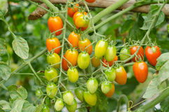 Tomatoes hanging on tree Stock Photos