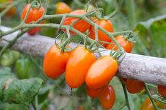 Tomatoes hanging on tree Stock Photography