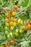 Tomatoes hanging on tree Stock Image