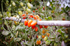 Tomatoes hanging on tree Royalty Free Stock Images