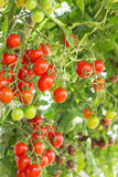 Tomatoes hanging on trees in garden Royalty Free Stock Image