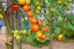 Tomatoes on home garden. Stock Photo
