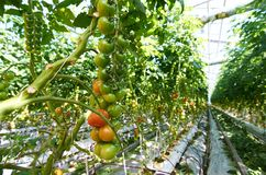 Tomatoes in hothouse. Rows of green and red tomatoes growing in contemporary hot-house Royalty Free Stock Photo