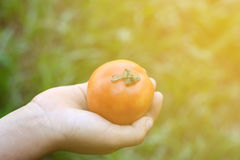 Tomatoes in human hands. Blurred Background Royalty Free Stock Images