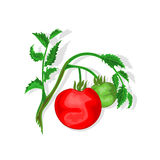 Tomatoes with leaf vector. Illustration without gradients Stock Image