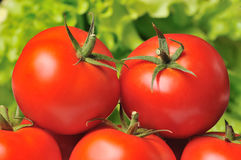 Tomatoes with lettuce. Vegetables - tomatoes with lettuce background Stock Images