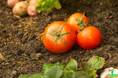 Tomatoes lying naturally on ground Royalty Free Stock Photography