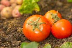Tomatoes lying naturally on soil ground Stock Photos