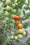 Tomatoes. Are a natural and healthy meal Royalty Free Stock Images