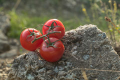 Tomatoes in nature on a rock Royalty Free Stock Images