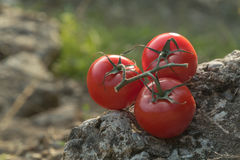 Tomatoes in nature on a rock Royalty Free Stock Photos