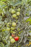 Tomatoes on a shrub still unripe, Lycopersicon esculentum, Solanum lycopersicum, Bavaria, Germany, Europe royalty free stock photo