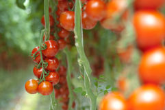 Free Tomatoes On The Vine Royalty Free Stock Image - 9461656