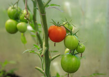 Tomatoes, one ripe red and some green on a branch in the greenhouse. Focus on foreground Royalty Free Stock Image