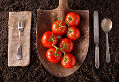 Tomatoes. Organic farm to table healthy eating concept on soil background Stock Image