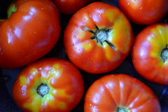 Tomatoes. Organic tomatoes from vegetable garden stock photography