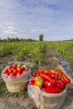 Tomatoes and pepper basket Stock Photos
