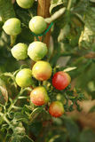 Tomatoes on the plant Stock Photography