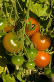 Tomatoes On Plant. Red and green tomatoes growing on a plant stock photo