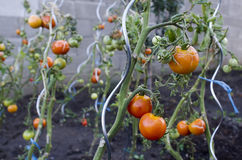 Tomatoes on a plant Stock Photos